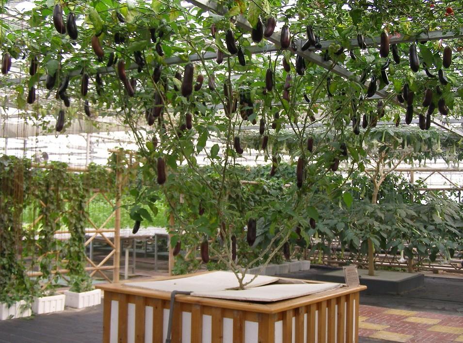 pohon terong